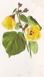 Indigenous Flowers of Hawaii: Hau by Francis Isabella Sinclair