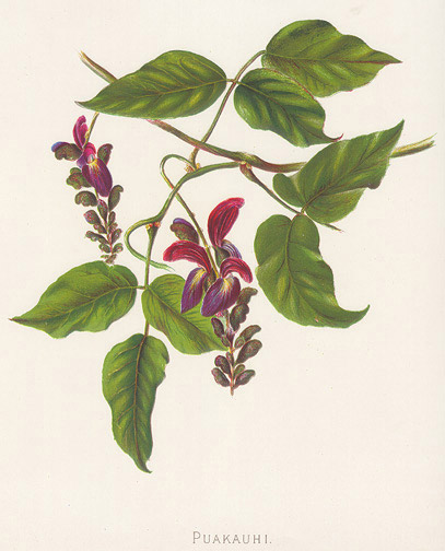 Indigenous Flowers of Hawaii: Puakauhi by Francis Isabella Sinclair(Hawaiian Print)