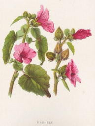 Indigenous Flowers of Hawaii: Hauhele by Francis Isabella Sinclair
