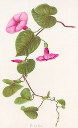 Indigenous Flowers of Hawaii: Pilikai by Francis Isabella Sinclair