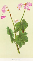 Indigenous Flowers of Hawaii: Akaakaawa by Francis Isabella Sinclair