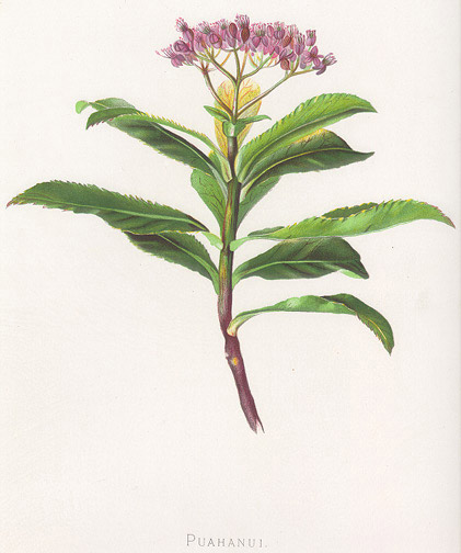 Indigenous Flowers of Hawaii: Puahanui by Francis Isabella Sinclair(Hawaiian Print)