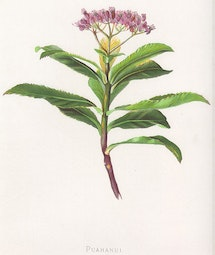 Indigenous Flowers of Hawaii: Puahanui by Francis Isabella Sinclair