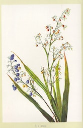 Indigenous Flowers of Hawaii: Ukiuki by Francis Isabella Sinclair