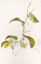 Indigenous Flowers of Hawaii: Pioi by Francis Isabella Sinclair