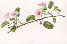 Indigenous Flowers of Hawaii: Aalii by Francis Isabella Sinclair