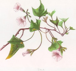 Indigenous Flowers of Hawaii: Uala by Francis Isabella Sinclair